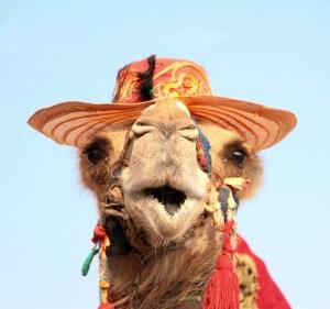 Kamelensafari